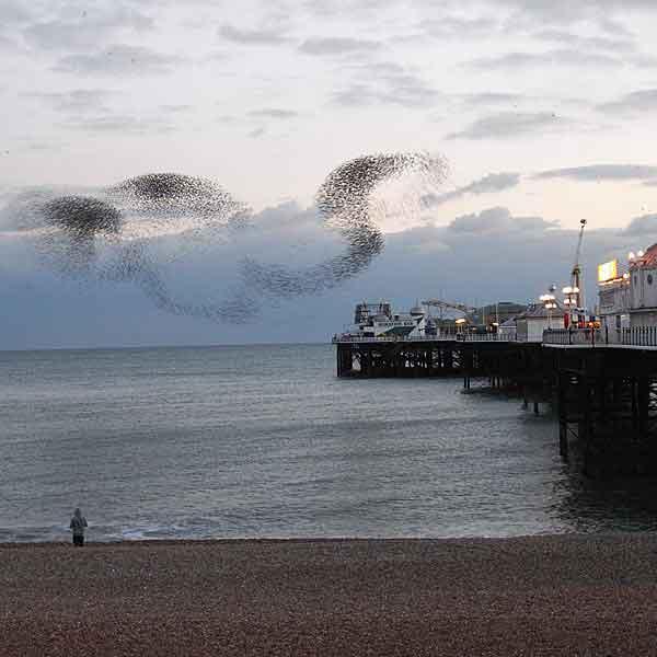 Murmuration: Brighton Murmuration